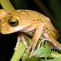 Marsupial Frog by Dante Fenolio