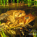 Mating Toads by Ted Kinsman