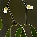 Mistletoe (viscum Album) by Bob Gibbons