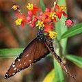 Monarch Butterfly  by Joseph G Holland