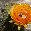 Orange Cactus Flower by Jim And Emily Bush