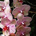 Orchid Cluster by Paul Slebodnick