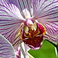 Orchid Flower by C Ribet