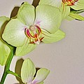 Orchid Love by Marie-france Quesnel