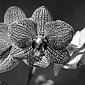 Orchids by Tony Ramos