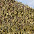 Organ Pipe Cactus Stenocereus Thurberi by Tim Fitzharris