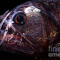 Pacific Viperfish by Dante Fenolio