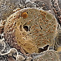 Pancreas Cell, Sem by Steve Gschmeissner