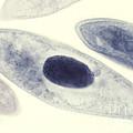 Paramecium Caudatum by M. I. Walker