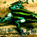 Pasco Poison Frog by Dant� Fenolio