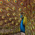 Peacock by Carlos Caetano