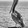 Pelican Portrait by Eddie Yerkish