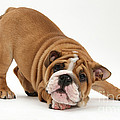 Playful Bulldog Pup by Mark Taylor