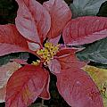 Poinsettia by Sam Sidders