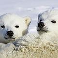 Polar Bear Ursus Maritimus Three by Suzi Eszterhas