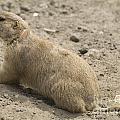 Prairie Dog by Odon Czintos