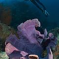 Purple Elephant Ear Sponge With Diver by Steve Jones