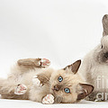 Ragdoll-cross Kitten And Young by Mark Taylor
