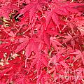 Red Leaves 1 by Rod Ismay