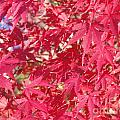 Red Leaves 2 by Rod Ismay
