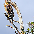 Red Shouldered Hawk by Rick Mann