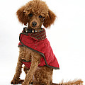 Red Toy Poodle by Mark Taylor