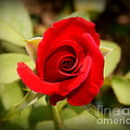 Rose Red by Paul Wilford