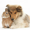 Rough Collie Pup With Rabbit by Mark Taylor