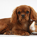 Ruby Cavalier King Charles Spaniel Pup by Mark Taylor