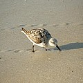Sandpiper Hunting On Assateague Island Maryland by Sven Migot