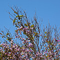 Saucer Magnolia Or Tulip Tree Magnolia X Soulangeana by Allan  Hughes