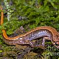 Seepage Salamander by Dante Fenolio