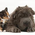 Shar Pei Puppy And Tortoiseshell Kitten by Mark Taylor