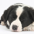 Sleepy Puppy by Mark Taylor
