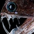 Sloanes Viperfish by Dant� Fenolio