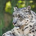 Snow Leopard by Dawn OConnor