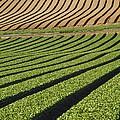 Spinach Crop by Adrian Bicker