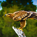 Steppe Eagle by Bill Barber