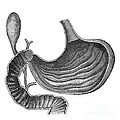 Stomach And Bile Duct by Science Source