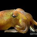 Stubby Squid by Dante Fenolio
