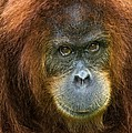 Sumatran Orangutan by Tony Camacho