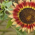 Sunflower by Jack R Perry
