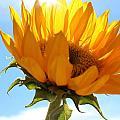 Sunflower by Kume Bryant