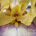 Tall Bearded Iris Named Butterfingers by J McCombie