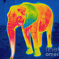 Thermogram Of An Elephant by Ted Kinsman