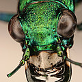 Tiger Beetle by Ted Kinsman