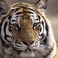 Tiger, Qinhuangdao Zoo, Hebei Province by Raymond Gehman