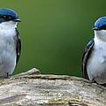 Tree Swallows by Brian Stevens