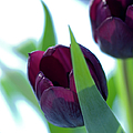 Tulip Flowers (tulipa Sp.) by Lawrence Lawry
