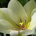 Tulip Named Perles De Printemp by J McCombie